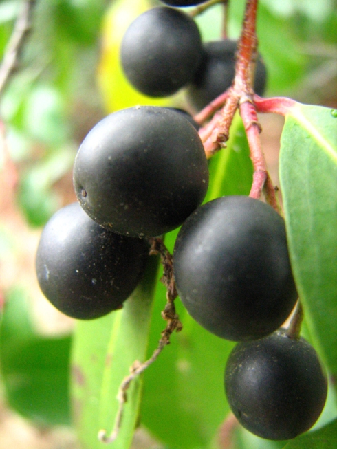 Tree Berry